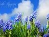 Carla Hegener Fotografie - Blauwe Druifjes