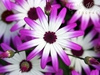 Carla Hegener Fotografie - Daisies