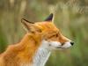 Carla Hegener Fotografie - wilde vossen